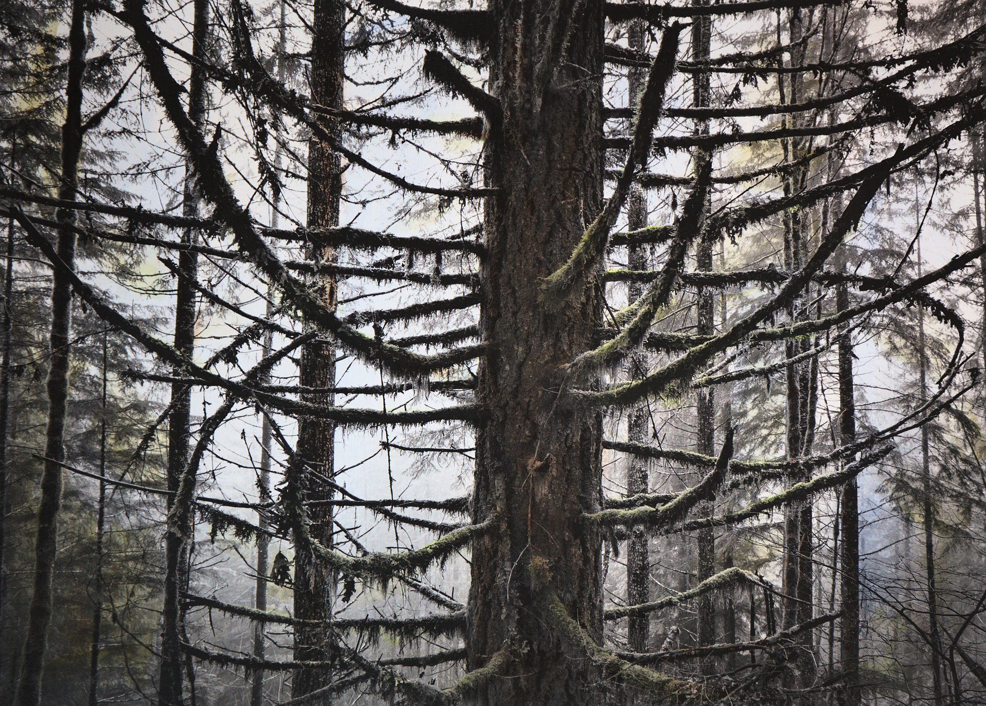 Fir Forest 2016.3 -- 22x30 inch hand colored photo
